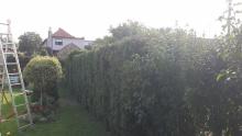 Tesáre - strihanie živého plota